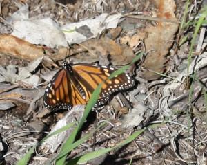 monarch2016-03