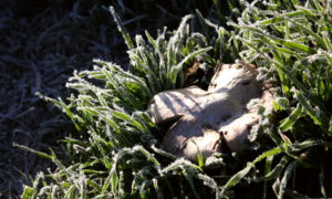 Mushroom amid grass, everything crusted in frost