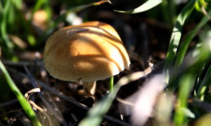 Closeup of small golden mushroom amid grass