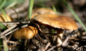 Closeup of large and small golden mushroom amid grass